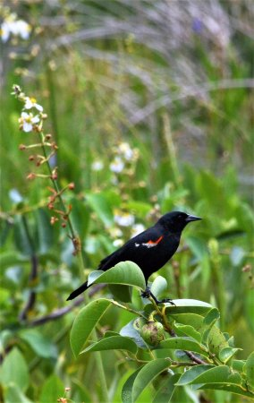 Wakodahatchee Wetlands: Redwing Black Bird