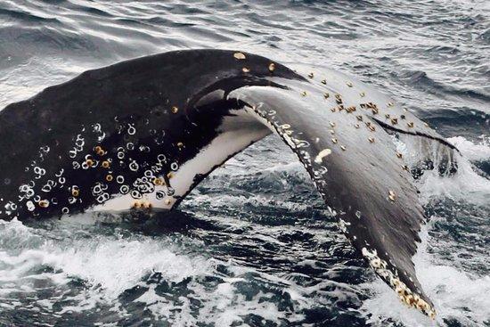 ฟอร์สเตอร์, ออสเตรเลีย: One of the many curious humpbacks which put on a show to remember.