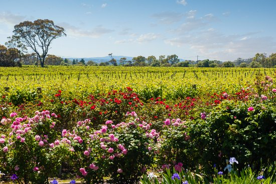 Willunga, Australia: View over the roses to the vineyards beyond