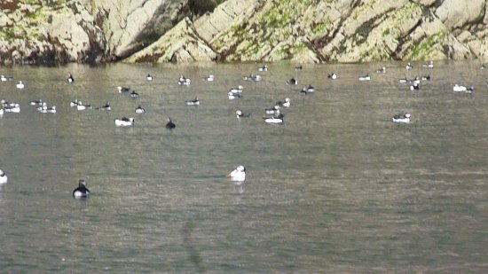 St Davids, UK: puffins off Skomer
