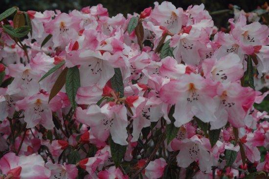 Port Logan, UK: Rhododendron edgeworthii 'Logan Dream'