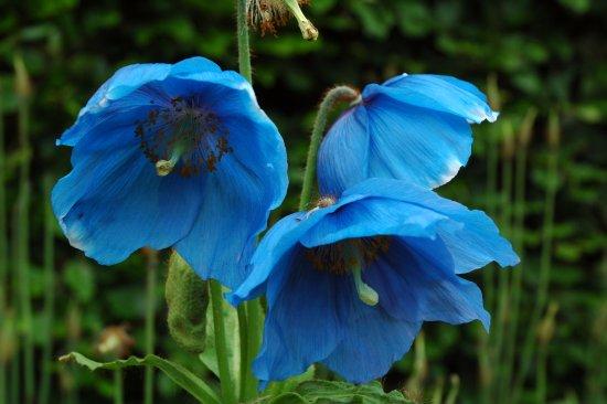 Port Logan, UK: Blue meconopsis