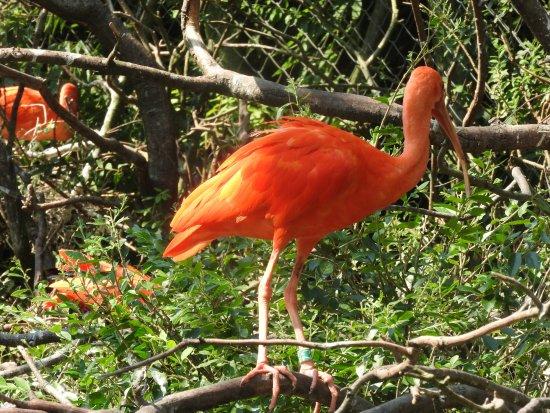 Villars-les-Dombes, Γαλλία: l'ibise rouge
