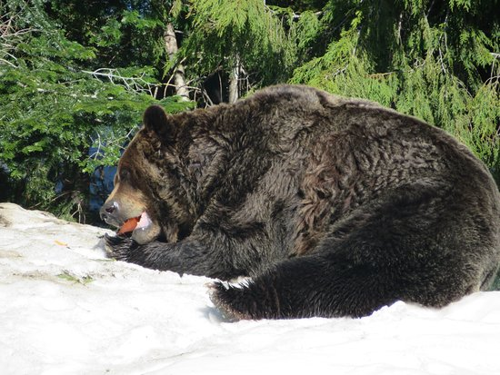 North Vancouver, Canada: Snack time for the bears