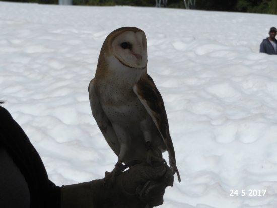 North Vancouver, Canada: The barn owl interpretative session