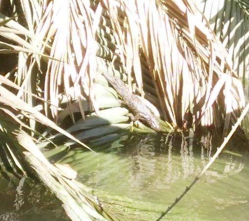 Daintree, Australia: Baby crocodile