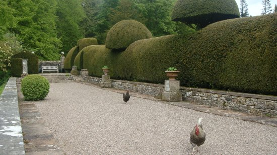 Penrith, UK: Free range chickens on the Terrace