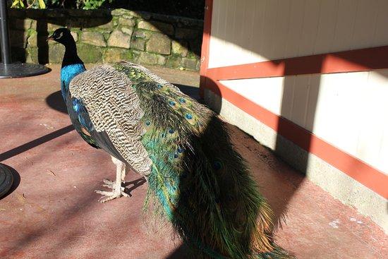 Launceston, Austrália: Friendly peacock