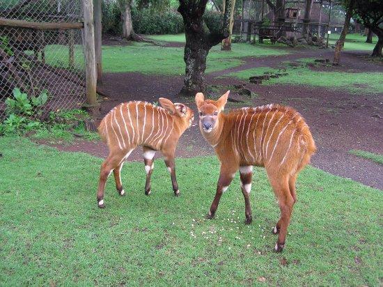 Nanyuki Town, Kenya : Baby Bongo at the Animal Orphanage