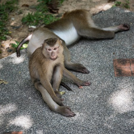Phuket Town, Thailand: Lazy Monkeys