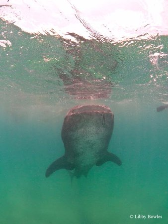 Tofo, موزمبيق: whaleshark feeding at the surface