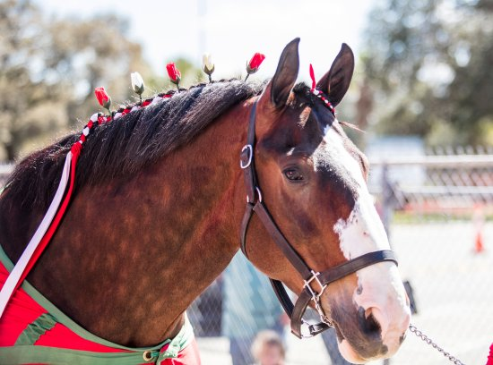 Fairfield, CA: Clydesdale
