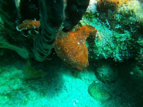 Road Town, Tortola: Frogfish at the RMS Rhone