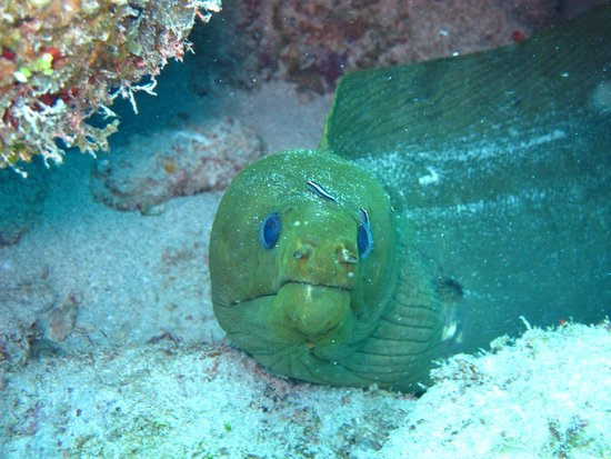 Road Town, Tortola: Green Moray at Angelfish Reef