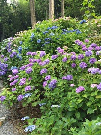 Kurume, Japan: 色んな紫陽花が咲き乱れており とても綺麗でした。
