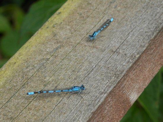 Elgin, UK: Common Blue Damselfly (Males)