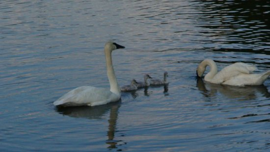 Sprague's Maple Farm: Swans and baby swans on the lake out front