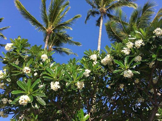 The Mauian Hotel on Napili Beach: Plumeria paradise