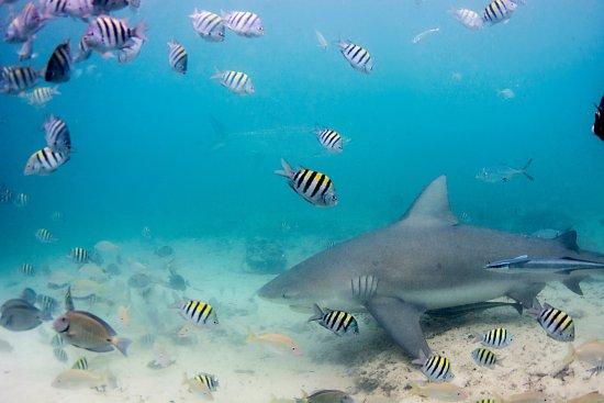 Bimini: Bull Shark (from the cage)