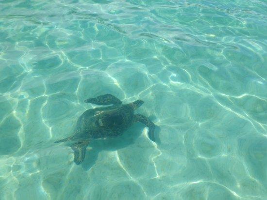 Kaneohe, Hawái: turtle beside sail boat