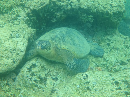 Kaneohe, Hawái: Turtle in our snorkelling area away from the sandbar