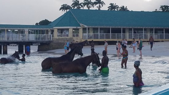 Christ Church, Barbados: Race horses getting their exercise