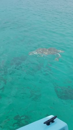 Christ Church, Barbados: The first turtle has arrived!