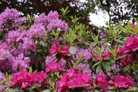 Ullensvang, Norvegia: Rhododendrons
