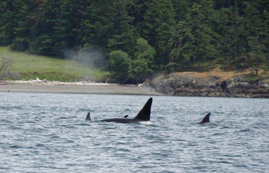 Friday Harbor, WA: Killer Whales