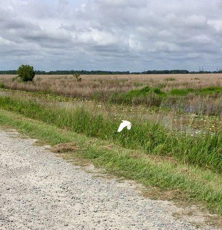 Hardeeville, SC: White Egret in flight