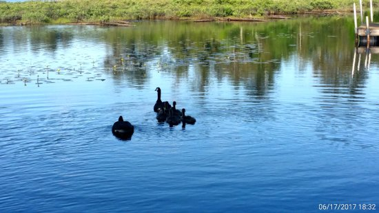 Wildwood on the Lake: Ducks family in the paradox bay