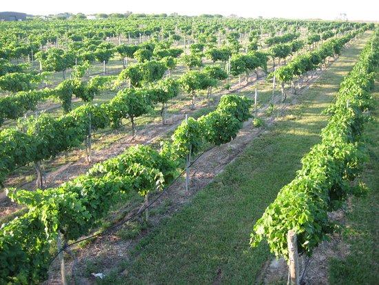 Bryan, TX: Grape Vineyards