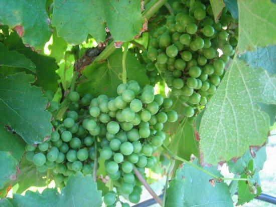 Bryan, TX: Gorgeous Grapes!