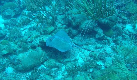 Kralendijk, Bonaire: Sting ray - a perfect end to a dive!