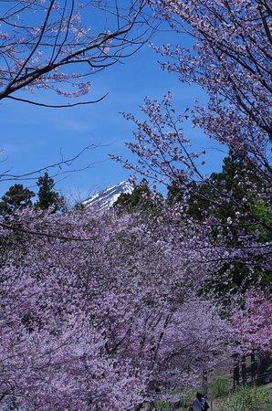 Inawashiro-machi, Japan: 曲輪からの桜と磐梯山