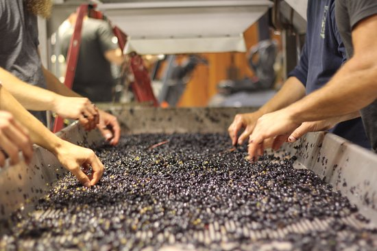 Healdsburg, CA: sorting grapes at harvest