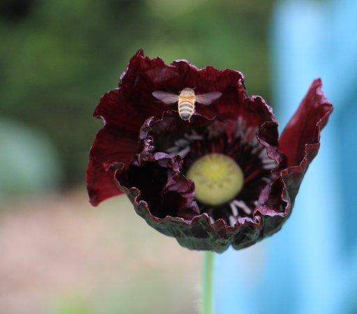 Renishaw, UK: Bee on a poppy