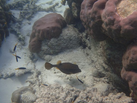 Cape Tribulation, Austrália: Boxfish