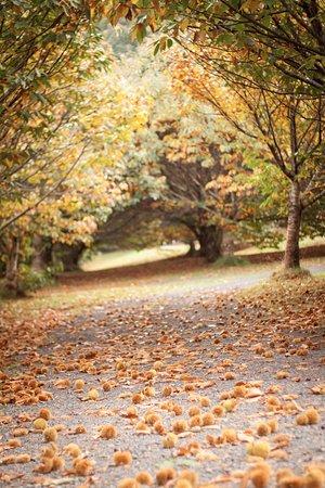 Narbethong, Australia: Chestnut trees
