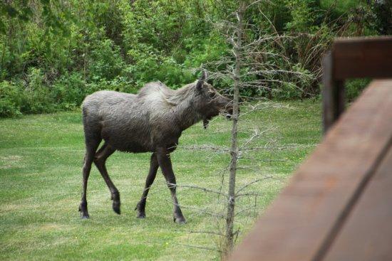 Кенай, Аляска: Wildlife in the backyard