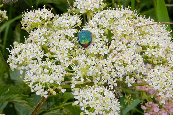 Mull of Galloway, UK: A happy beetle