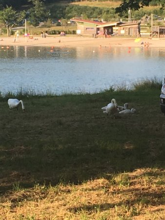 Villefranche-de-Lonchat, Frankrike: A pair of swans with 5 signets opposite the beach