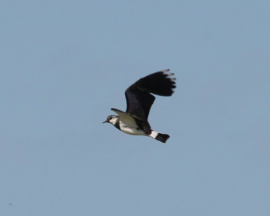 Amble, UK: Lapwing in flight