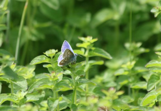 Amble, UK: Common blue butterfly