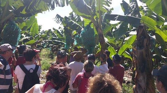 Le Gosier, Guadeloupe : visite de la bananeraie (guide francky extra)