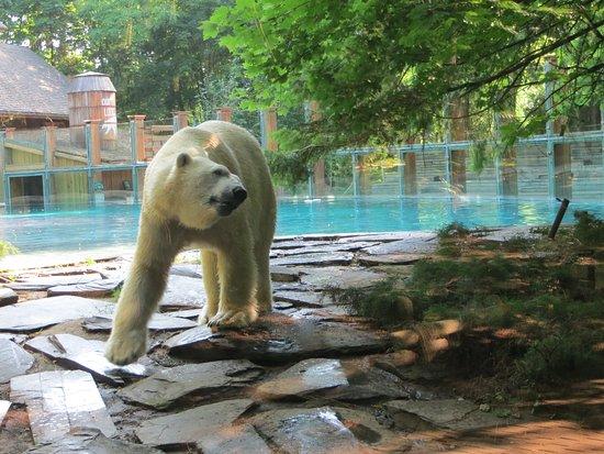 l 39 ours polaire impressionnantttttttttttt photo de zoo de la fl che la fl che tripadvisor. Black Bedroom Furniture Sets. Home Design Ideas