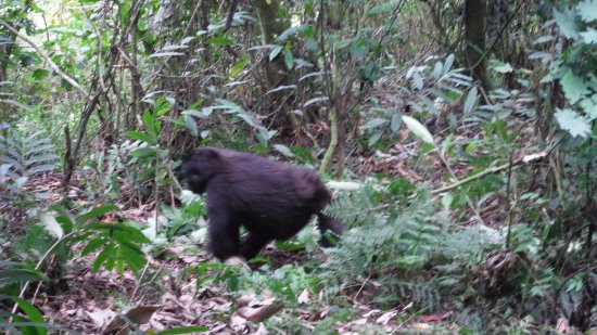 Национальный парк Бвинди, Уганда: Gorilla from the Nkuringo group at Nkuringo gate