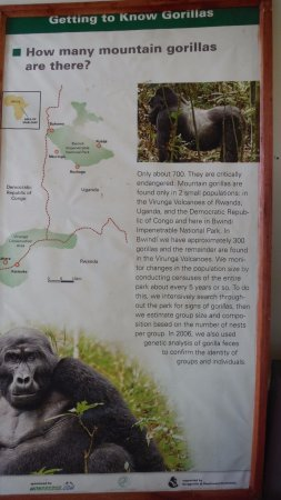 Bwindi Impenetrable National Park, Uganda: Good news! I think the number increased to almost 800 now!