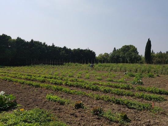 Alzonne, France: Premières cueillette de l'été. Claude ramasse ces légumes avant de passer en cuisine