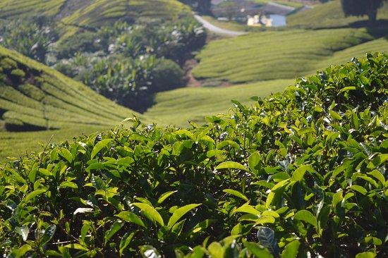 Tanah Rata, Malaysia: Lovely tea plantation
